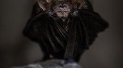 Pesquisadores encontram novo vírus semelhante a SARS-Cov-2 em morcegos