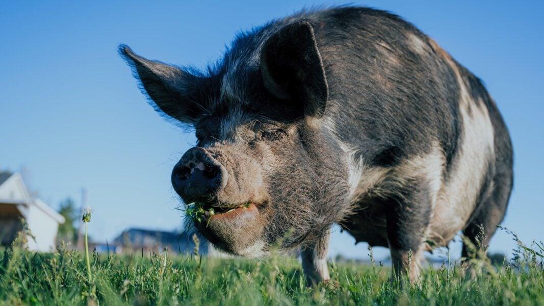 Ladrões entram em chiqueiro e levam porco de 55 kg, em sítio de Rosário do Ivaí