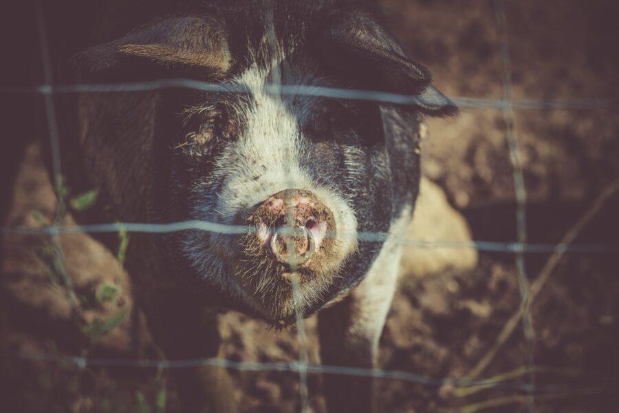 Porcos são furtados de propriedade rural em Marumbi; juntos pesam 77kg
