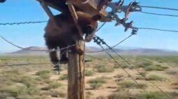 Urso fica preso em poste e causa apagão na cidade inteira; veja o vídeo