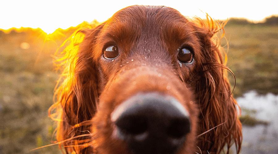 10 alimentos tóxicos que você não deve dar ao cão