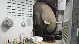 Em busca de comida, elefante selvagem invade cozinha; veja o vídeo