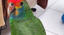 "Após gritar ""socorro"", papagaio vítima de tráfico de animais é resgatado"