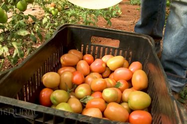 Casal de engenheiros agrônomos investe em tomates orgânicos
