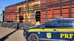 PRF apreende caminhão boiadeiro com 3 ton de maconha no Paraná