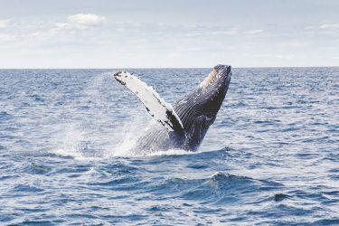 Baleia jubarte engole mergulhador nos Estados Unidos