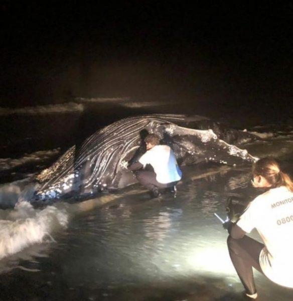 Sexto caso do ano: mais uma baleia jubarte morre encalhada no Litoral do Paraná