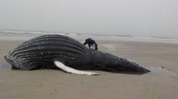 Baleia jubarte é encontrada morta com marcas de rede de pesca em praia de Superagui