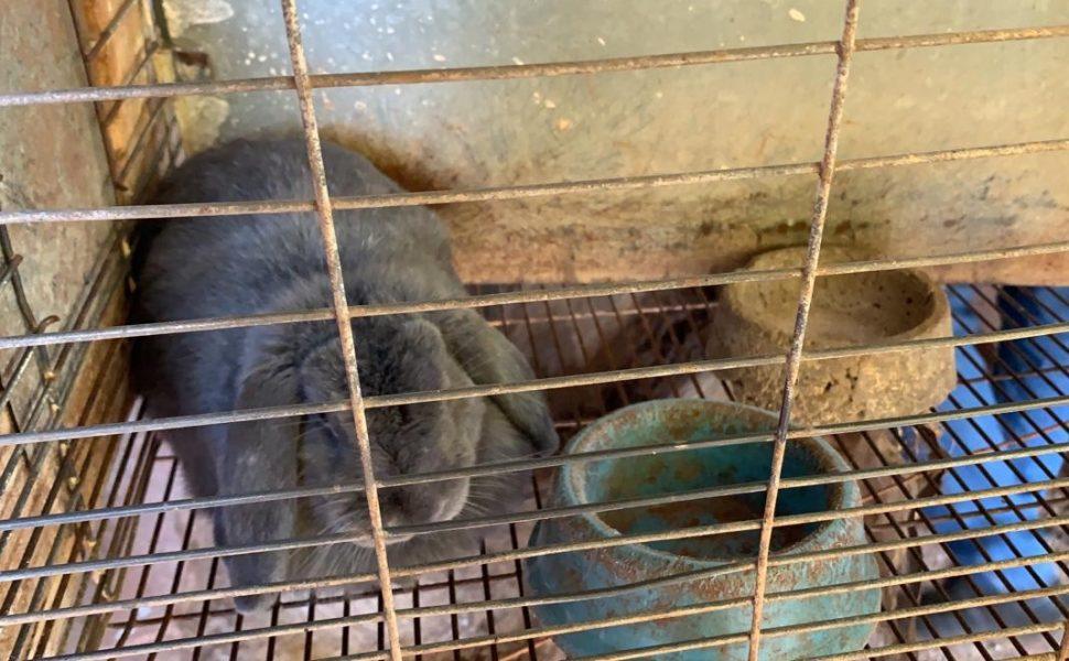 Fiscalização encontra quase 300 coelhos em situação de maus-tratos em Maringá; assista