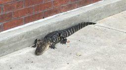 Polícia captura crocodilo dentro de shopping na Flórida