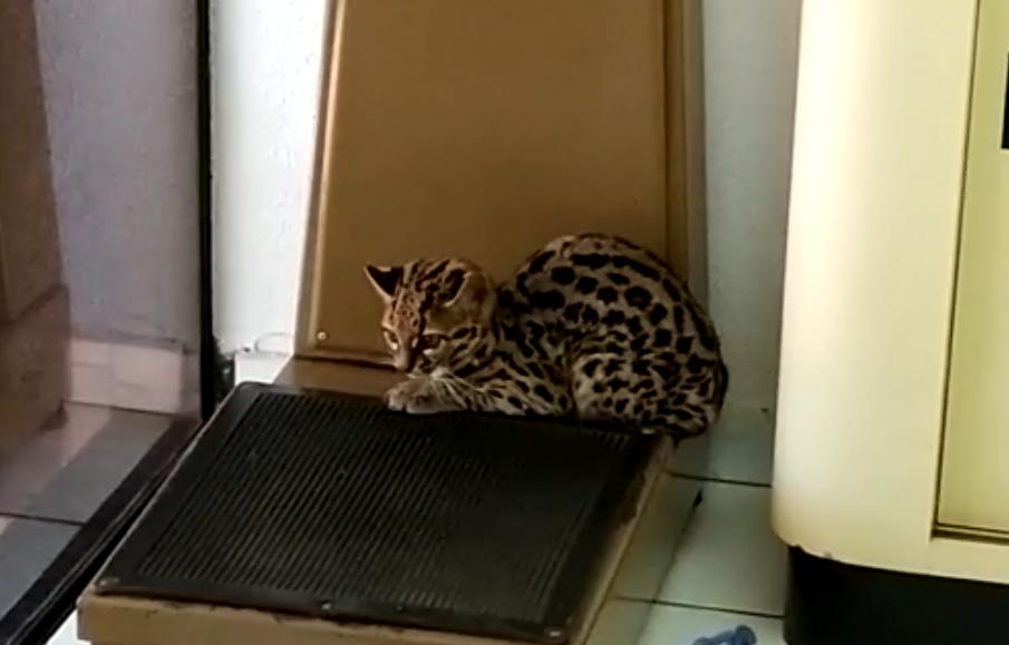 Vídeo: filhote de gato-maracajá é encontrado dentro de farmácia em Peabiru