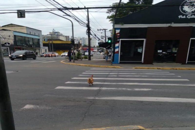Galinha 'consciente' é flagrada atravessando na faixa de pedestres em Joinville (SC)