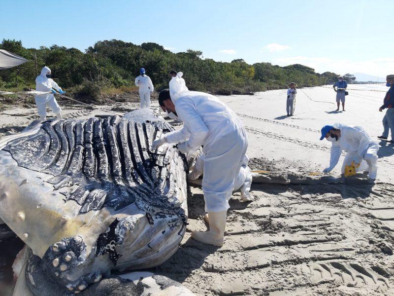 Outra baleia Jubarte é encontrada morta no litoral; já é a sétima este ano