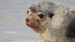 Lobo marinho aparece em Matinhos, no litoral do Paraná, para uma 'descansadinha'