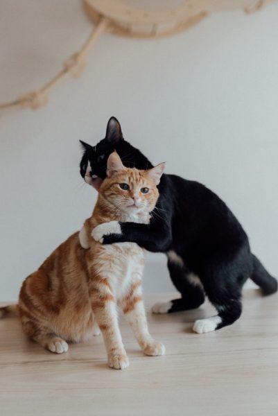 Por que um gato lambe o outro?