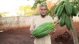 Mamão gigante é produzido em Rancho Alegre