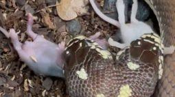 Cobra de duas cabeças come dois ratos ao mesmo tempo; assista!