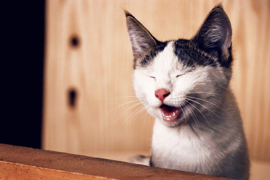 Seu gato ficou rouco? Saiba o que pode ser