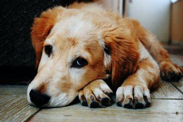 Leishmaniose canina: o que é e como tratar?