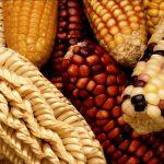 Paraná enfrenta maior perda da história com redução na safra de milho