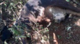 Vaca de estimação é atraída para armadilha e morta esfaqueada, em sítio de Ibiporã (PR)