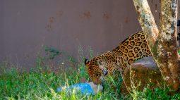 Itaipu desenvolve trabalho pioneiro para o bem-estar de animais no Refúgio Bela Vista