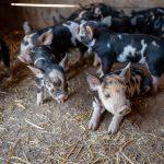 Suspeito invade sítio de madrugada e furta dois filhotes de porco