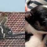 Macaco selvagem sequestra filhotinho de cachorro e o faz refém por três dias; veja vídeo