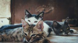 Você sabia que é preciso cuidar da saúde dos rins dos gatos?