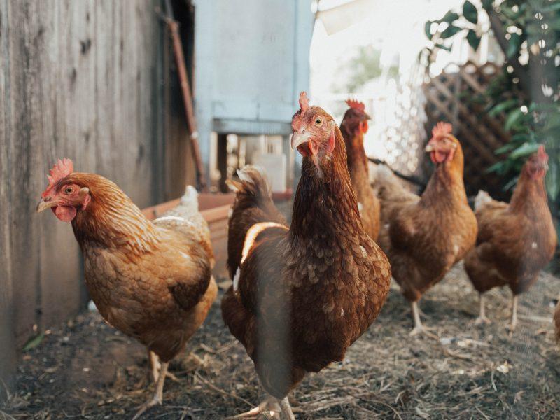 Homem tem 40 galinhas caipiras furtadas de sítio, mas encontra e recupera animais