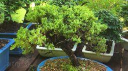 A tradição no cultivo do bonsai de uma família de Campo Mourão