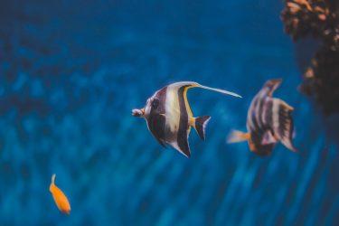 Quais peixes podem viver juntos no aquário?