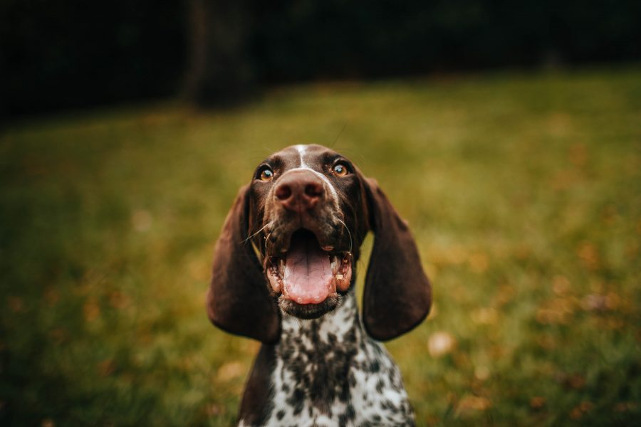 Cães podem comer acerola?