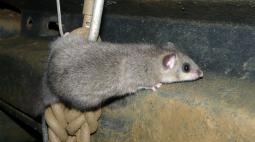 Policiais apreendem 235 ratos mortos antes de serem comidos em ritual de paz da máfia