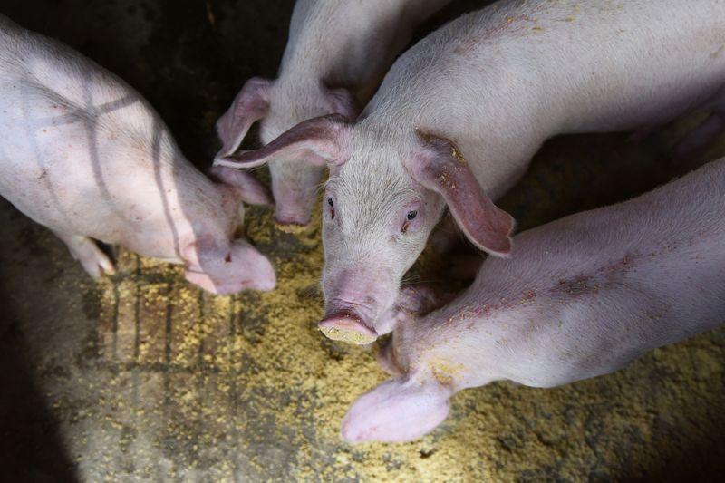 China flexibiliza regulamentações ambientais para pequenas fazendas de porcos