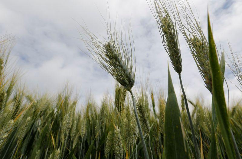 Strategie Grains corta estimativa para colheita de trigo da França