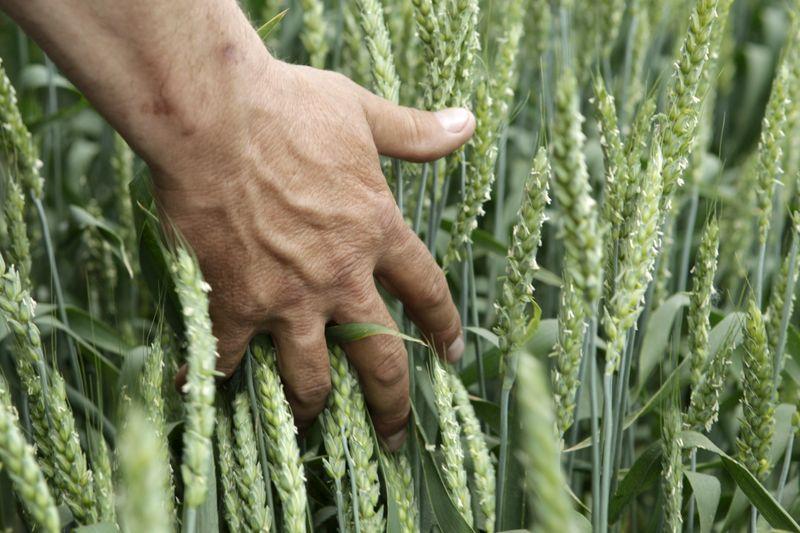 Plantio de trigo no RS vai a 97%; clima favorece desenvolvimento inicial, diz Emater