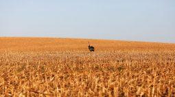 Produtividade do milho safrinha deve cair até 30% após geadas, diz Conab