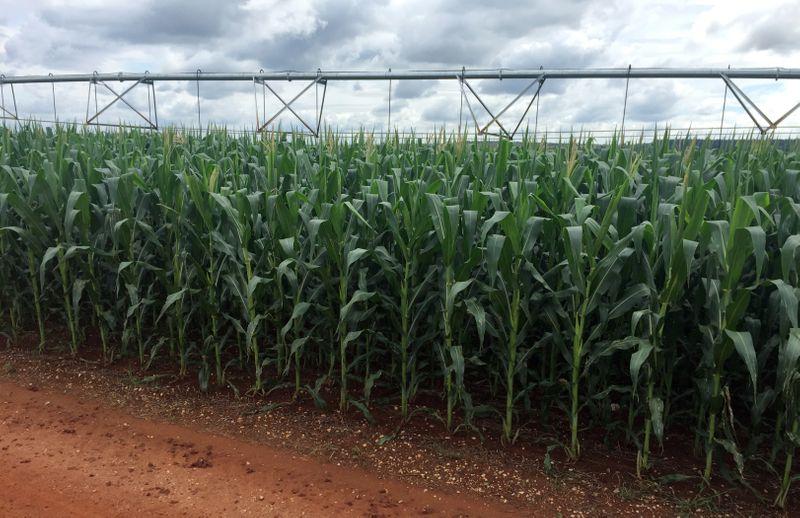 Colheita de milho 2ª safra atinge 39% da área no centro-sul com avanço em MT