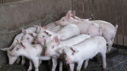 China vai tomar medidas para estabilizar preços de porco