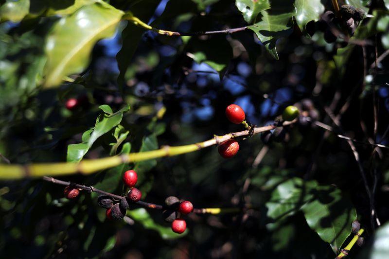 Queda brusca de temperatura ameaça safras de café, cana e laranja do Brasil