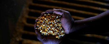 Exportação de milho do Brasil cai 50% em julho em meio a quebra de safra
