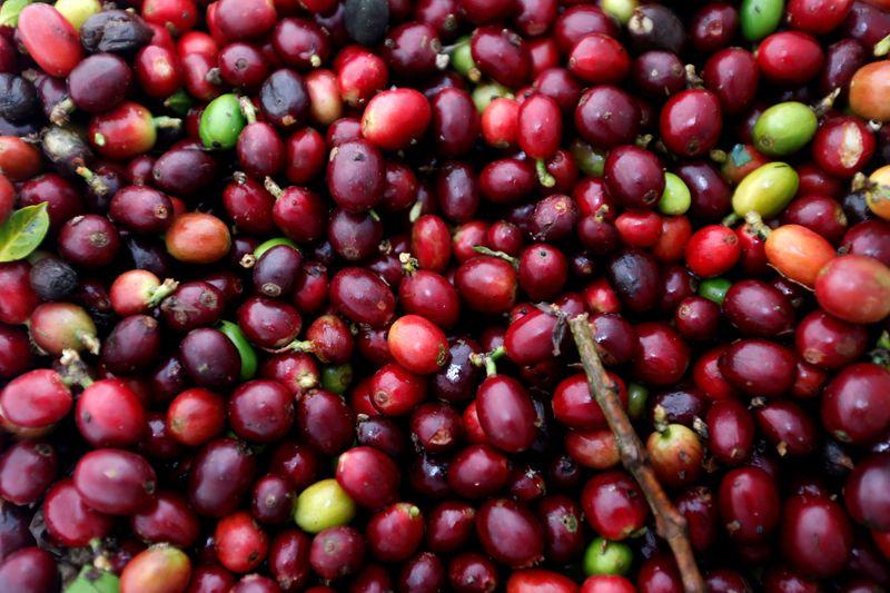 Colheita de café da Cooxupé atrasa com ações contra Covid e falta de mão de obra