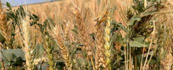 Seca afeta safra de trigo da América do Norte e preocupa moinhos