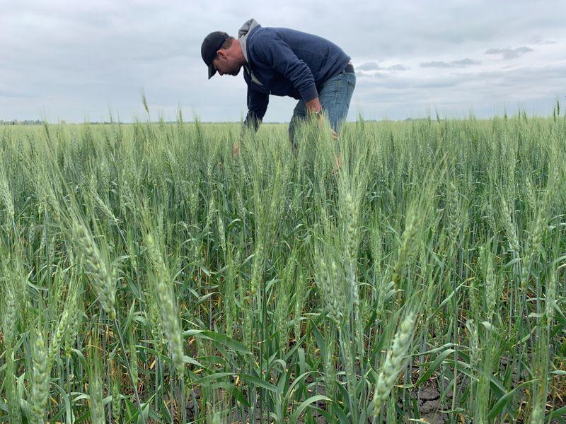 Canadá reduz previsões de safra de canola e trigo por seca
