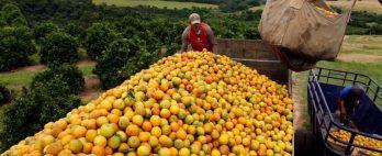 Estoque de suco de laranja pode cair até 46% em 21/22 após intempéries, diz CitrusBR