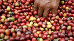 Café robusta avança para máxima de quatro anos; açúcar recua