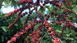 Café robusta atinge máxima de 4 anos na ICE, açúcar recua