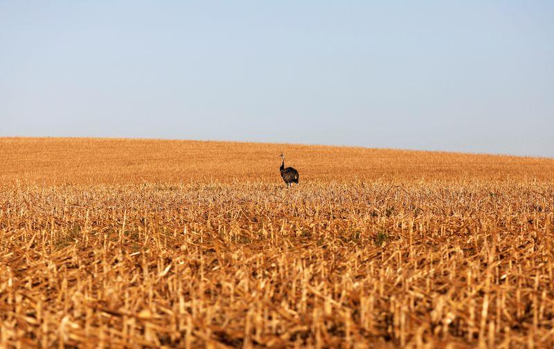 Milho recua em Chicago com progresso de colheita nos EUA; soja se firma