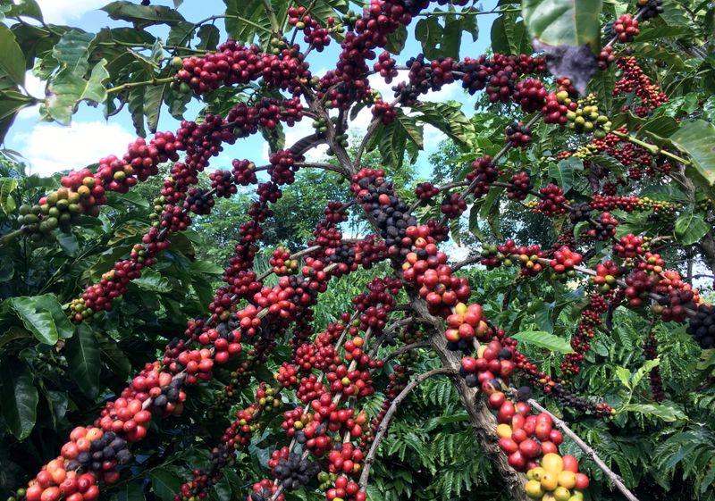 Mercado de café no Vietnã está fraco com traders à espera de nova safra